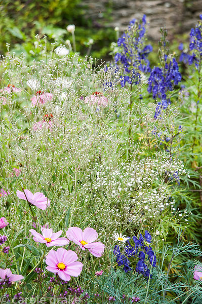 Gypsophila paniculata with cosmos and aconites in the rill garden. Coleton Fishacre, Kingswear, Devon, UK