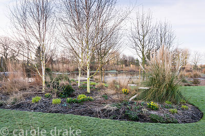 Border with pampas grass, white stemmed birches and small early daffodils with natural swimming pool behind at Ellicar Garden...