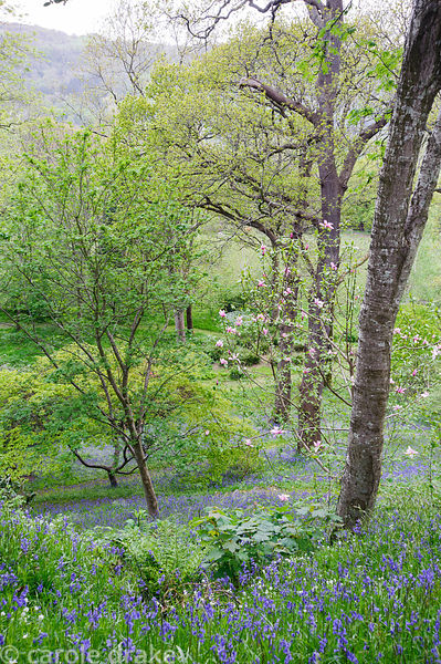 View down into the wooded Dell through the trunks of mature oaks, across magnolias and sheets of bluebells and starry white g...