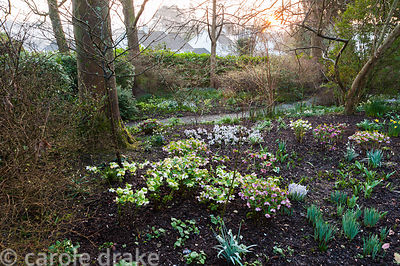 Helleborus x hybridus flowering in the woodland garden. Bosvigo, Truro, Cornwall, UK