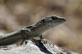 Catalonian wall lizard - Podarcis liolepis at Castle of  Allegre, Gard, France