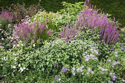 Late summer border at Bourton House, Moreton-in-Marsh in August including Aster × frikartii 'Mönch', Lythrum salicaria, salvi...