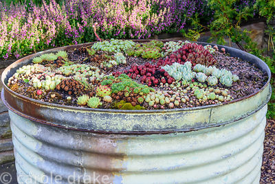 Large industrial steem drum planted with succulents at the Yeo Valley Organic Garden, Blagdon, Somerset