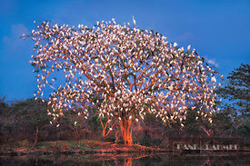 Sleeping tree for herons at sunset - South America, Venezuela, Apure, Llanos del Orinoco, Mantecal - scan