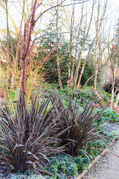 Phormium 'Bronze Baby' beside Prunus serrula and dogwood in the Winter Garden at Mottisfont in January