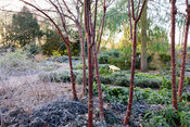Multi-stemmed Prunus serrula with frosty foliage of hellebores and Ophiopogon planiscapus 'Nigrescens' in the Winter Garden a...