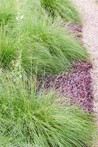 Sporobulus heterolepsis amongst ground cover of Acaena inermis 'Purpurea' at Dove Cottage Nursery & Garden, Halifax, West Yor...