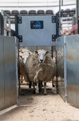 Sheep at livestock auction market running through a race which reads electronic tags. Cumbria, UK.