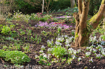 Tree surrounded by white scillas, Helleborus x hybridus and Crocus tommasinianus 'Roseus' in the woodland garden. Bosvigo, Tr...