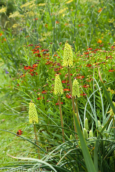 Kniphofia 'Shining Sceptre' amongst some of the garden's helenium National Collection. Holbrook Garden,Tiverton, Devon, UK