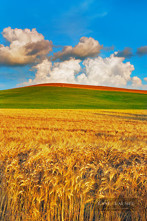 Cultural landscape with corn fields - Europe, Italy, Tuscany, Siena, Val d'Orcia, Pienza, south of - digital - Masterfile ima...