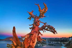 Dead tree at Crater Lake with moon - North America, USA, Oregon, Klamath, Crater Lake, Merriam Point (Cascade Range, Crater L...