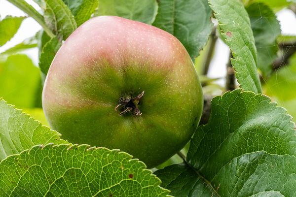 Rijpende appel in de boom - close-up