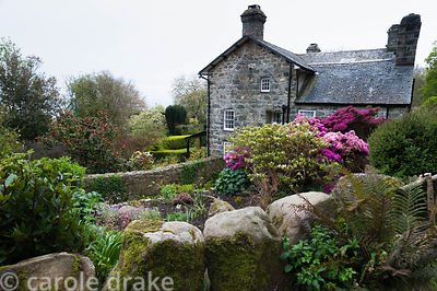The house at Plas yn Rhiw framed with bright azaleas and the new leaves of box hedges viewed from the bank above, with wall f...