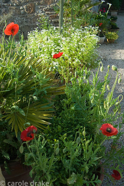 Containers of olives, box and palms are enlivened with self seeded wildlowers including poppies and feverfew. Ednovean Farm, ...