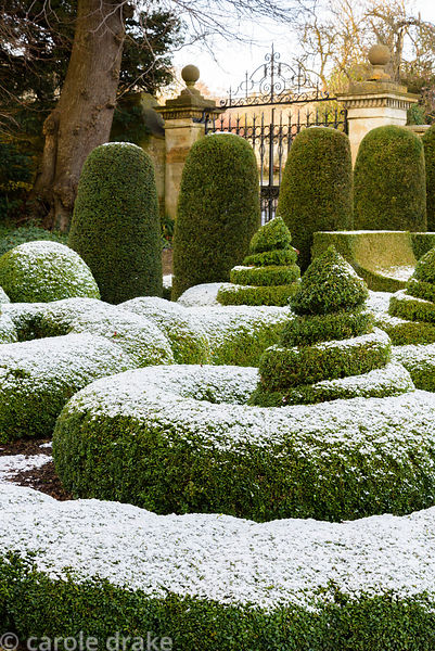 Parterre of clipped box dusted with snow in January at Bourton House in the Cotswolds, plus yew columns.