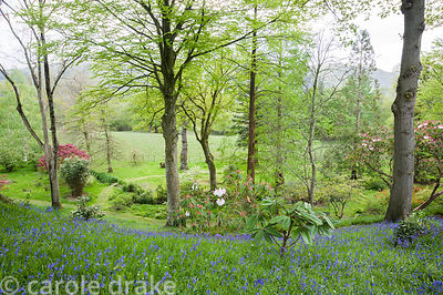 The Dell, a wooded valley of oaks underplanted with choice trees and shrubs that rise from a carpet of bluebells and starry w...