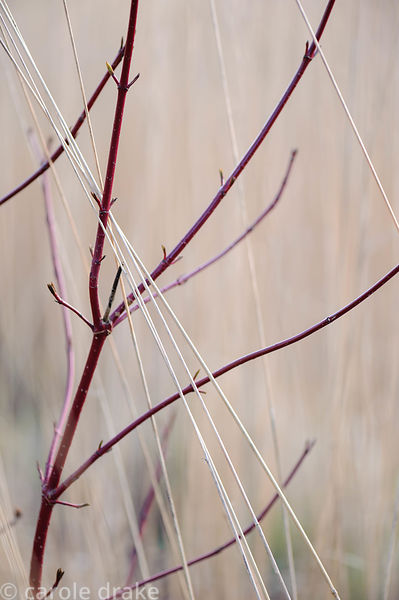 Dark red stems of Cornus alba 'Westonbirt' against bleached grasses. Barn House, Brockweir Common, Glos, UK