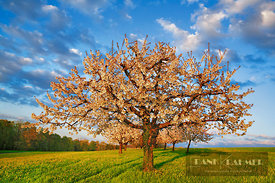 Cherry plantation in bloom (lat. prunus) - Europe, Switzerland, Basel-Landschaft, Sissach, Buus (Alps, Swiss Jura) - digital