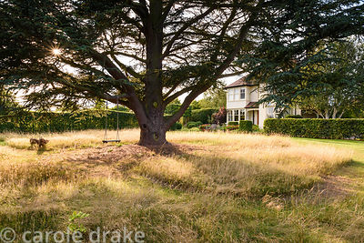 Cedrus atlantica, the Atlas cedar, surrounded by long grasses on the lawn of Farlands, Tenbury Wells in August