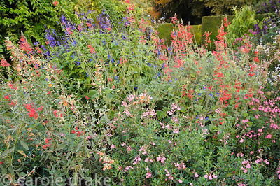 Border of salvias and orange flowered Sphaeralcea incana 'Sourup'