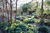 Multi-stemmed Prunus serrula with frosty foliage of hellebores and ferns, Edgeworthia chrysantha, conifers and colourful dogw...