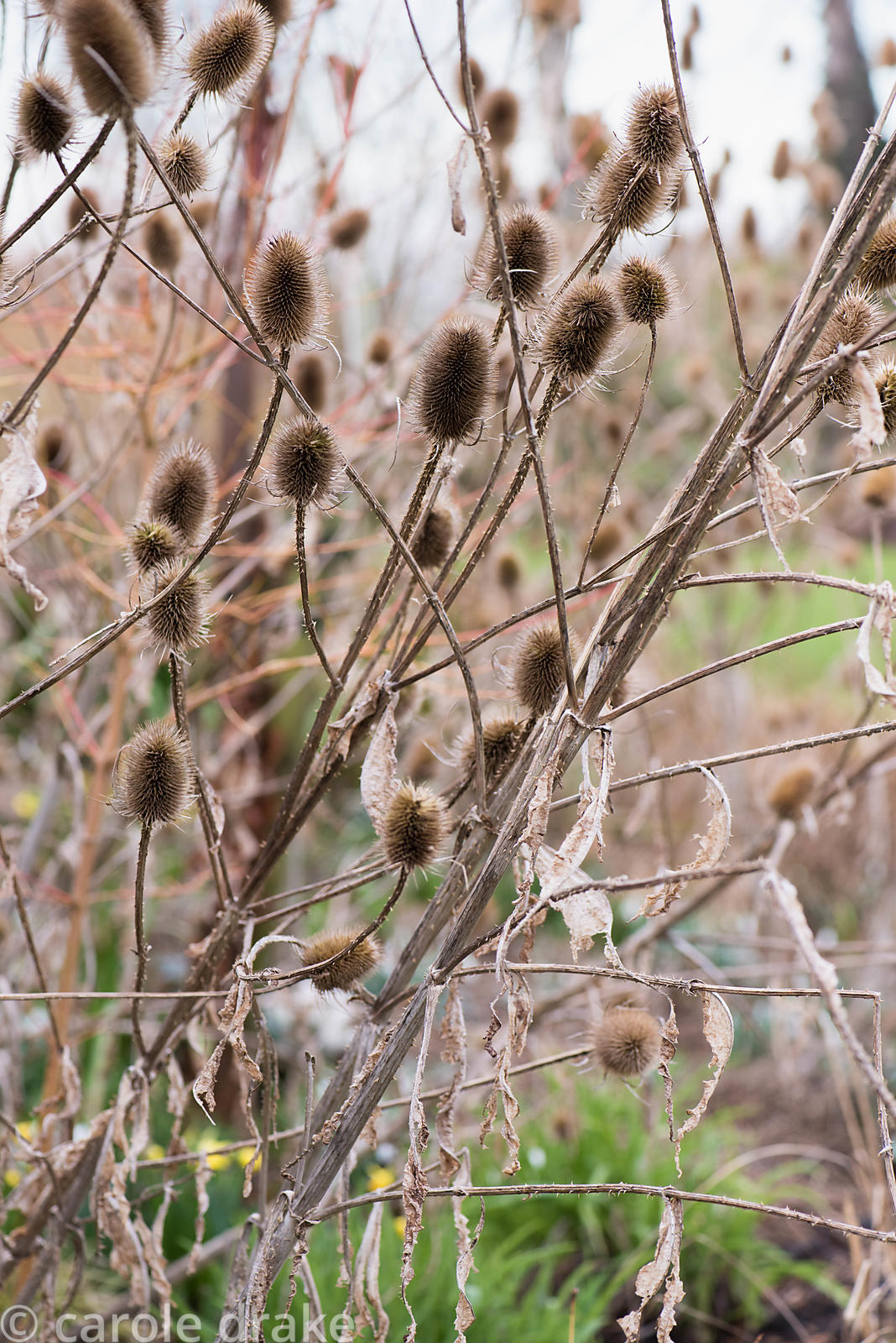 Teasels in the winter garden at Ellicar Gardens, Notts