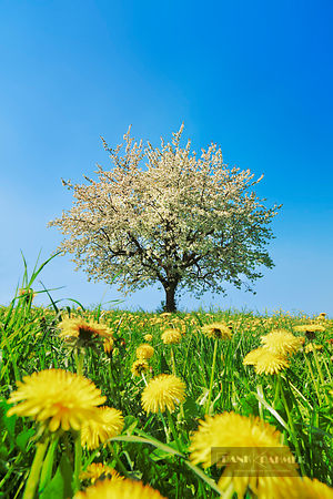 Cherry in bloom with dandelion (lat. prunus) - Europe, Switzerland, Aargau, Brugg, Zeihen - digital - Getty image 520722470