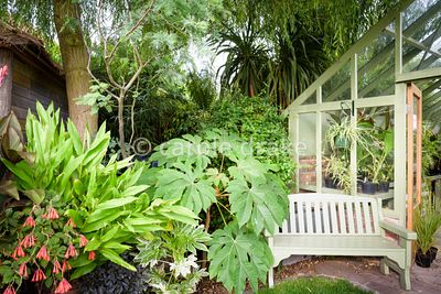 Bold foliage of Tetrapanax papyrifer 'Rex', Fatsia japonica 'Spider's Web', hedychiums and fuchsias beside a bench outside of...