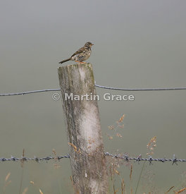 Meadow Pipit (Anthus pratensis) standing on a fence post, Ruthven, Badenoch & Strathspey, Scotland