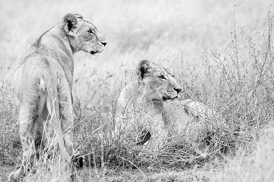 'Lion No. 1' : Kenya 2019: Art Photography Collection