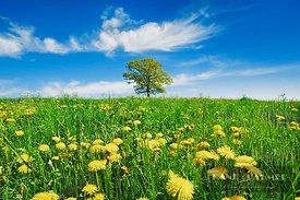 Dandelion meadow with oak and cirrus cloud (lat. taraxacum officinale) - Europe, Germany, Bavaria, Upper Bavaria, Bad Tölz-Wo...