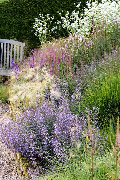 Hordeum jubatum 'Early Pink' and Calamintha nepeta subsp. nepeta 'Blue Cloud' amongst molinias, salvias and white daisy Erige...