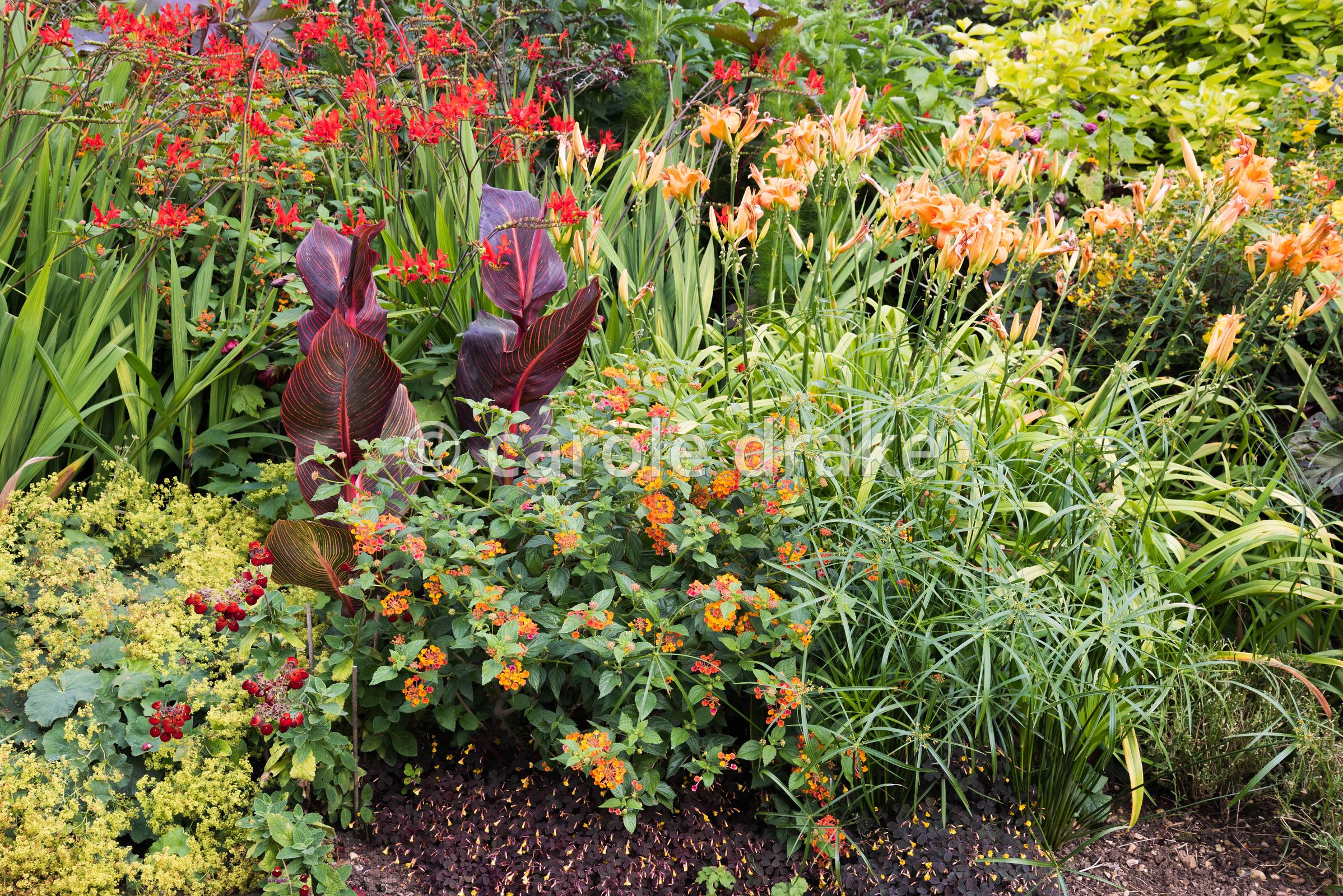 Late summer border at Bourton House, Moreton-in-Marsh in August with Cyperus alternifolius, Lantana camara, Canna 'Durban', A...