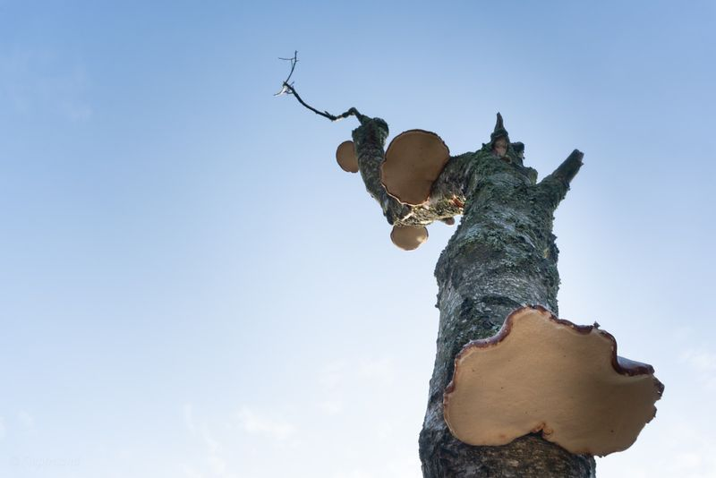 Dead tree with bracket fungi against blue sky