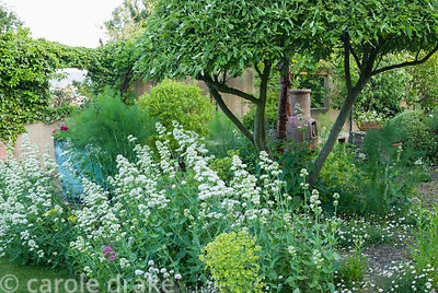 Clipped Eleagnus umbellata above self seeded wall daisy, Erigeron karvinskianus, fennel and Centranthus ruber 'Albus'.  Priva...