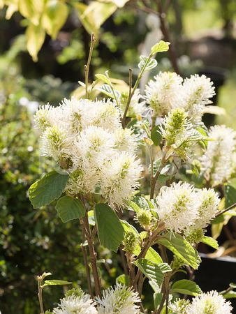 Fothergilla x intermedia 'Blue Shadow', floraison