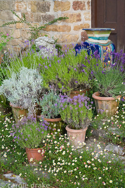 Pots of lavender surrounded by self seeded wall daisy, Erigeron karvinskianus. Melplash Court, Bridport, Dorset, UK