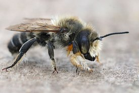 Close up of hte male of Willughby's leaf-cutter bee, Megachile willughbiella