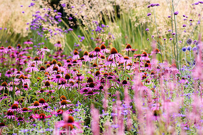 Echinacea purpurea 'Rubinglow' amongst Verbena bonariensis, Aster × frikartii 'Mönch' and Stipa gigantea at Farlands, Tenbury...