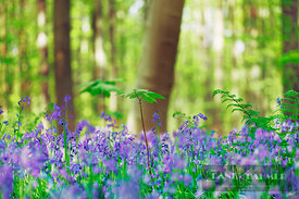 Common bluebell with maples in beech forest (lat. hyacinthoides non-scripta) - Europe, Belgium, Flanders, Halle, Hallerbos - ...