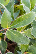 Toothed edges of Helleborus argutifolius leaves dusted with January frost