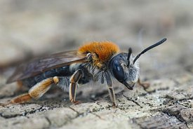 A frontal close up of a female Early Mining Bee, Andrena haemorrhoa