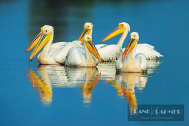 Great white pelican  (lat. pelecanus onocrotalus) - Europe, Greece, Macedonia, Kerkini, Megalohori - scan