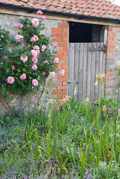 Old farmyard buildings now planted with roses, Nectaroscordum siculum, catmint, foxgloves and ferns. Private garden, Dorset, UK