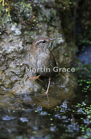 Eurasian (Winter) Wren (Troglodytes troglodytes) standing at the edge of the pond, Lake District National Park, Cumbria, England