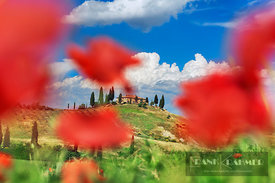 Farm house with cypresses and poppies - Europe, Italy, Tuscany, Siena, Val d'Orcia, San Quirico d'Orcia - digital