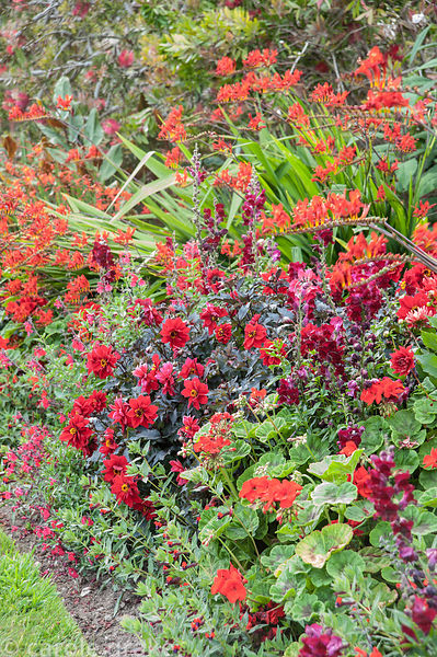 Hot border below the house bursting with colour, includes crocosmias, dahlias, antirrhinums, and pelargoniums. Coleton Fishac...