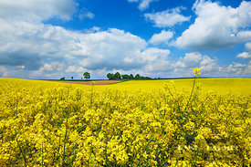 Rape field  (lat. brassica napus) - Europe, Germany, Bavaria, Upper Bavaria, Freising, Massenhausen - digital