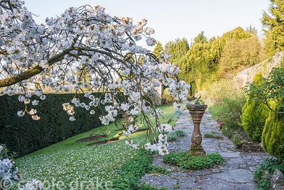 On the sundial terrace the sundial is framed by blossom of Prunus 'Taihaku', the great white cherry. Milton Lodge, Wells, Som...